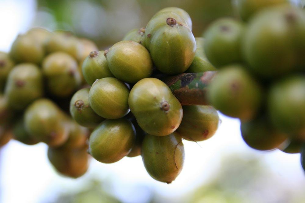 Coffee beans contain caffeine